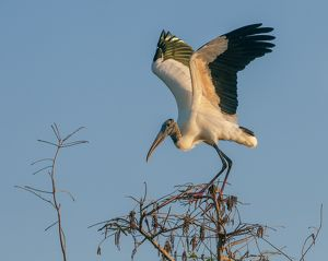 wood stork on perch at sunset