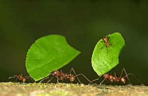 Workers of Leafcutter Ants -Atta cephalotes- carrying leaf pieces into their nest
