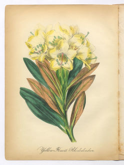 Yellow-Flowered Rhododendron Victorian Botanical Illustration