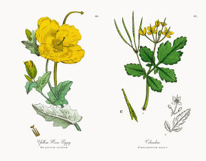 Yellow Horn Poppy, Glaucium luteum, Victorian Botanical Illustration, 1863