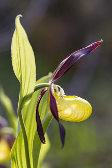 Yellow Ladys Slipper Orchid -Cypripedium calceolus-, Meissner Natural Park, Hesse, Germany