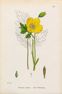 Yellow Welsh Poppy, Papaver cambrica, Victorian Botanical Illustration, 1863