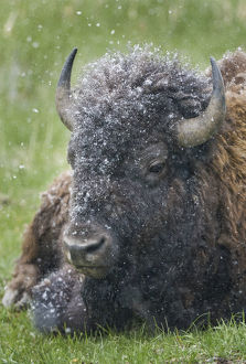 bison in spring snow