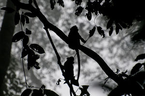 Young Macaques Silhouetted in the Jungle