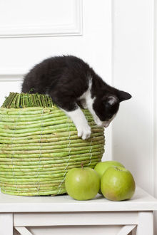 Young male cat, 10 weeks, playing with green apples