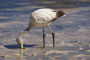 nature wildlife/flamingo wading bird/young puna jamesacaas flamingo phoenicoparrus